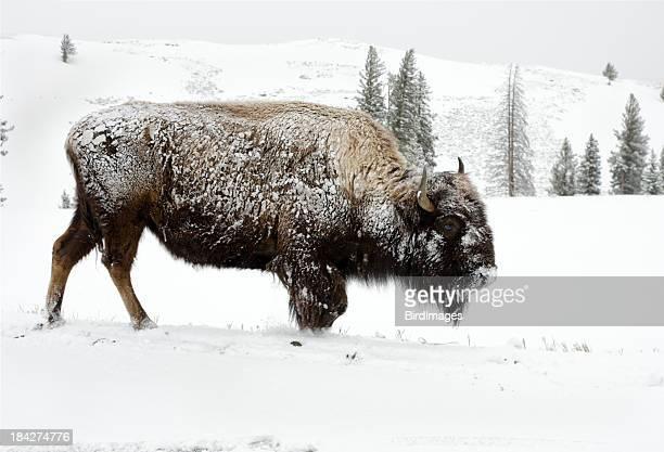 Bison Chercher de la nourriture dans la neige-Parc National de Yellowstone