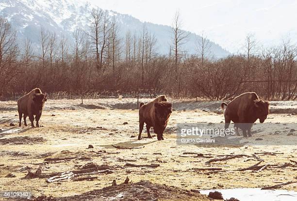 Bison, Girdwood, Anchorage, Alaska