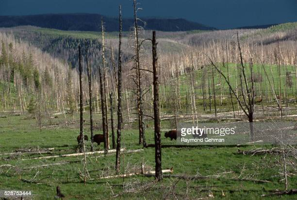 bison grazing in destroyed lodgepole forest - 20世紀 ストックフォトと画像
