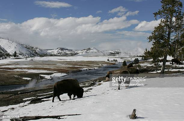 Bison grazing near Midway Geyser Basin in the winter with snow covering the ground and evergreen trees to the right clouds are covering most of the...