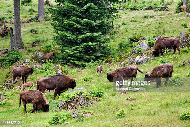 Bison grazing on a forest meadow.