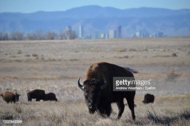 bison grazing on field against sky - denver stock pictures, royalty-free photos & images