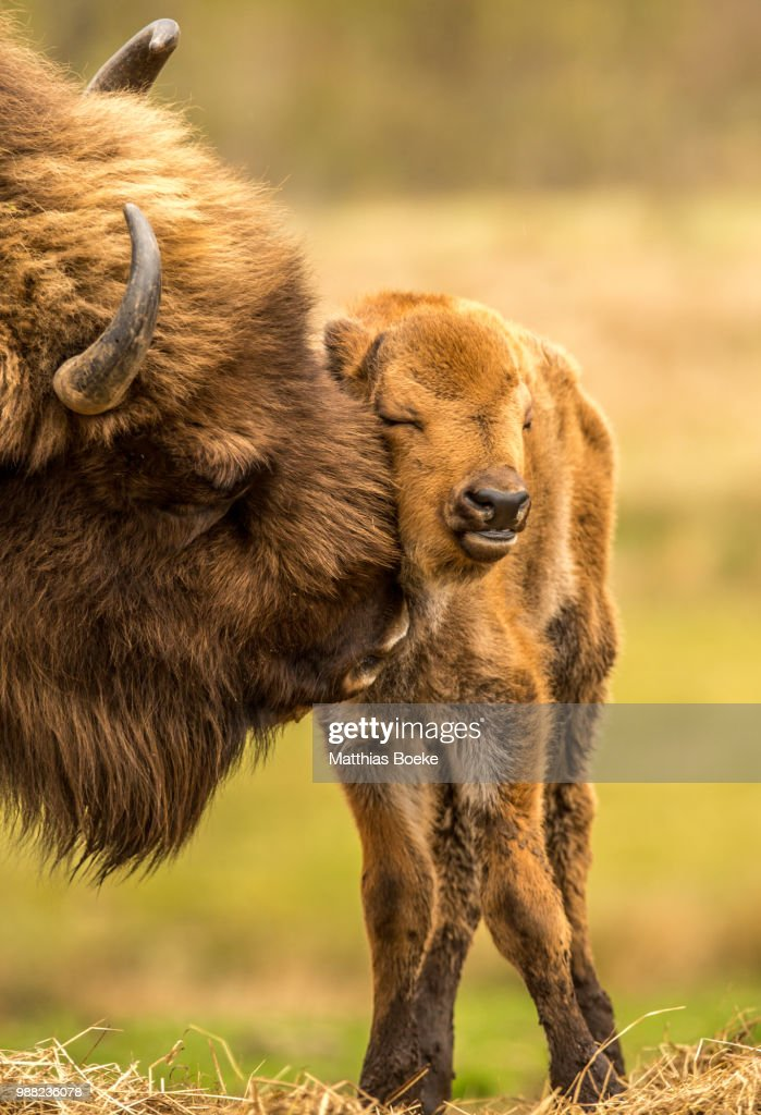 A bison grooming its calf in a field. : Stock Photo