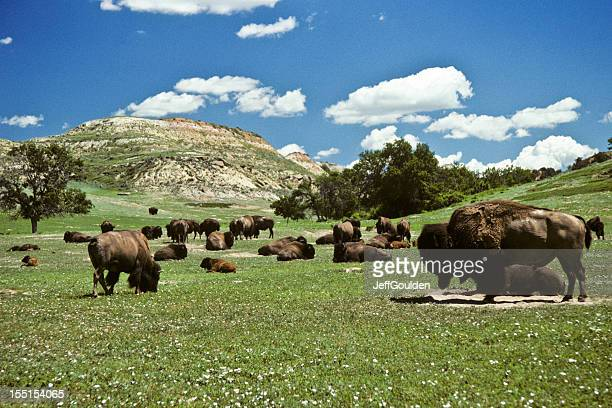 bison herd feeding in a meadow - north dakota stock pictures, royalty-free photos & images
