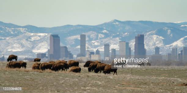 bison herd in front of denver skyline - commerce city colorado stock pictures, royalty-free photos & images