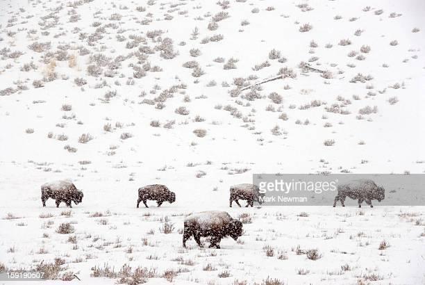 Bison herd in snowstorm