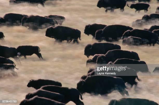 Bison Herd Stampeding