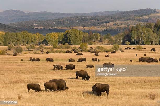 Bison herd, Tetons