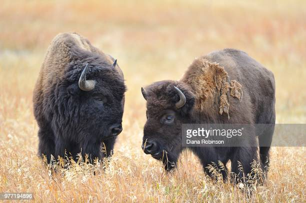 Bison in field, Grand Teton National Park, Wyoming, USA