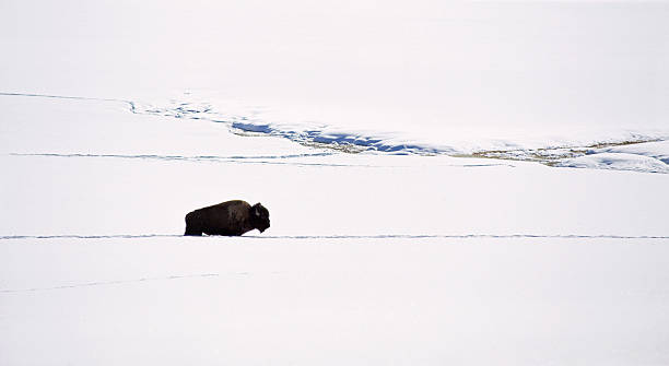 A bison in the snow. The American bison, the American buffalo. A single animal, in a deep snow drift. An open snowy landscape.
