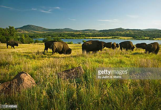 Bison in Wichita Mountains