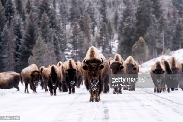 bison in winter - buffalo stock pictures, royalty-free photos & images