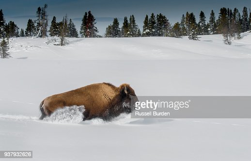 Bison In Yellowstone National Park In Winter