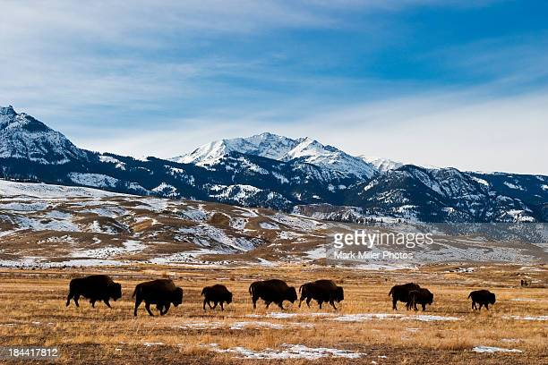 bison migration - montana - fotografias e filmes do acervo
