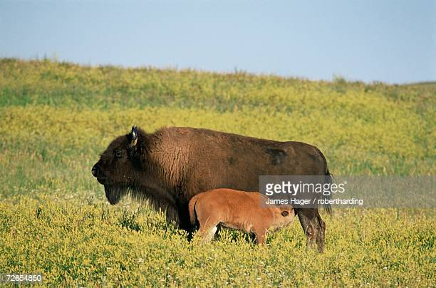 bison (bison bison) mother nursing calf, theodore roosevelt national park, north dakota, united states of america, north america - dakota james photos et images de collection