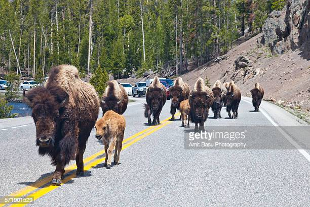 bison on highway, yellowstone - amit basu stock pictures, royalty-free photos & images