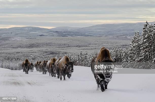 Bison on the Alaskan Highway