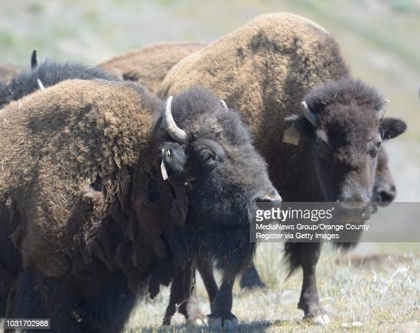 Bison on the interior of Catalina Island between Haypress and Patrick reservoirs Marine biologists Calvin Duncan and Julie King were looking for...
