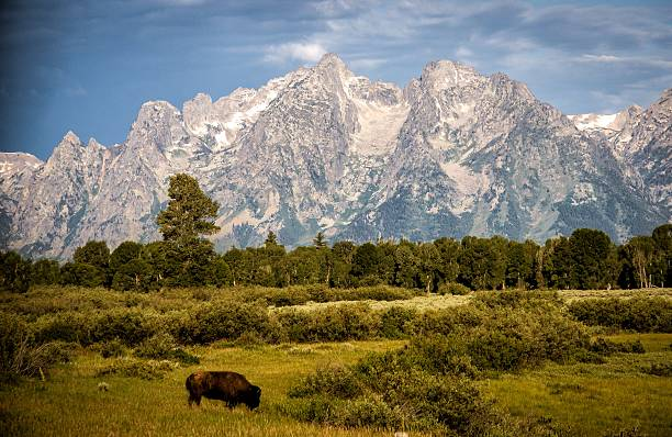 Bison On The Plain Wall Art