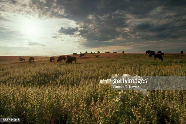 bison on the prairie - great plains stock pictures, royalty-free photos & images