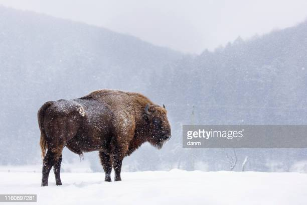 bison or aurochs in winter season in there habitat. beautiful snowing - romania stock pictures, royalty-free photos & images