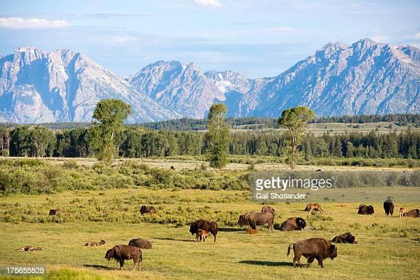 Bison Range & Tetons