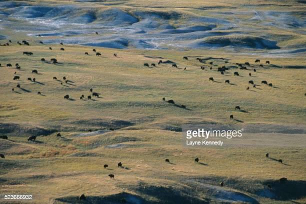 Bison Roaming in Badlands National Park