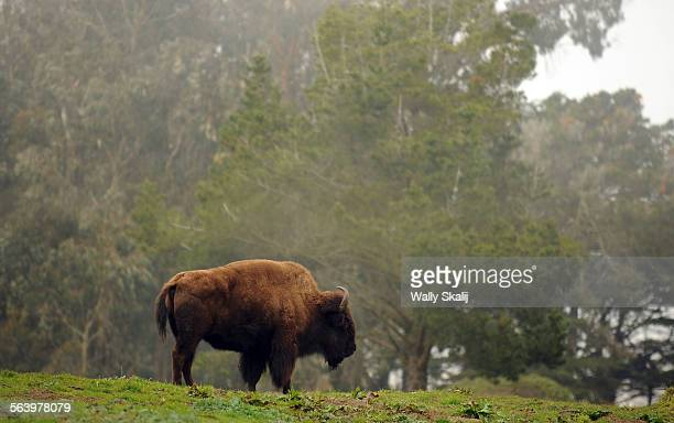 A bison roams a hill at Golden Gate Park in San Francsico