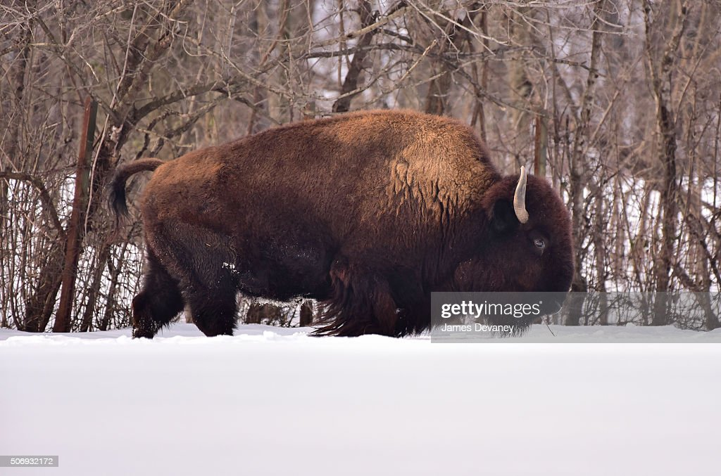 Bison Seen At The Bronx Zoo On January 25 2016 In New York City