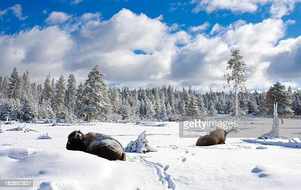 Bison Sleeping in Snow - Yellowstone National Park