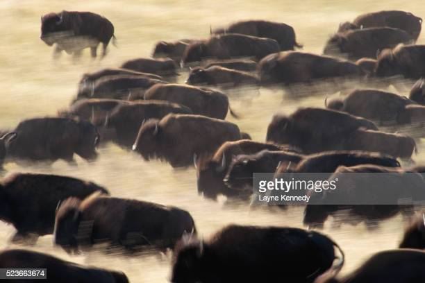 bison stampede - stampeding stock pictures, royalty-free photos & images
