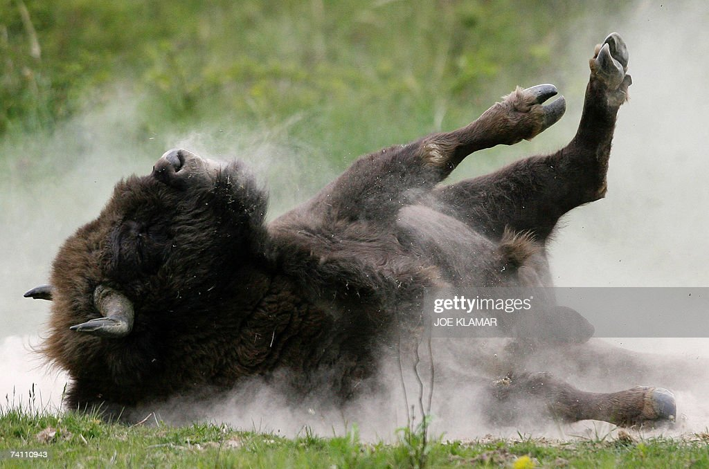 A bison takes a dust-bath at a pasture i... : News Photo