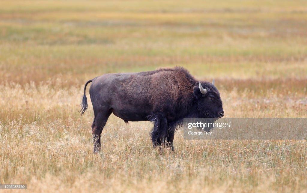 Yellowstone National Park : News Photo
