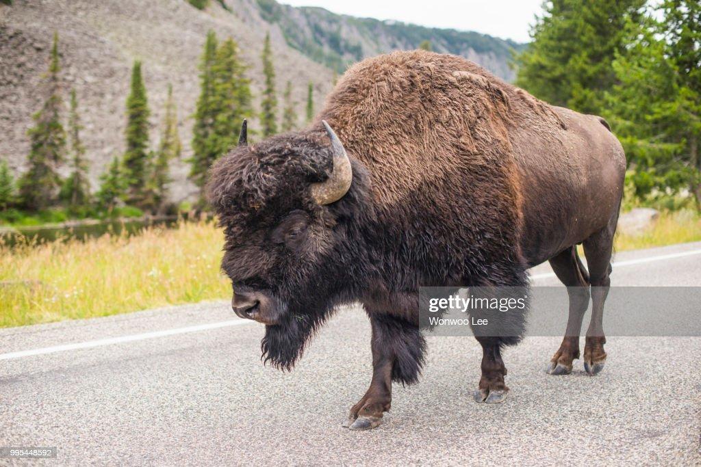 Bison walking on road, Yellowstone National Park, Wyoming, USA : Stock Photo