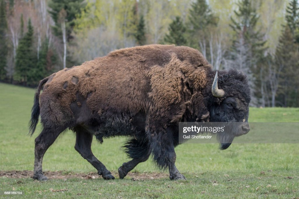 Bison Walking : Stock Photo