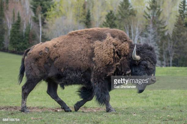 bison walking - buffalo stock pictures, royalty-free photos & images