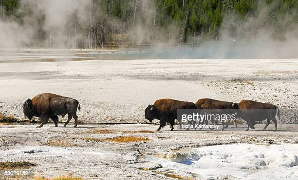 Bison walking through Black Sand Basin
