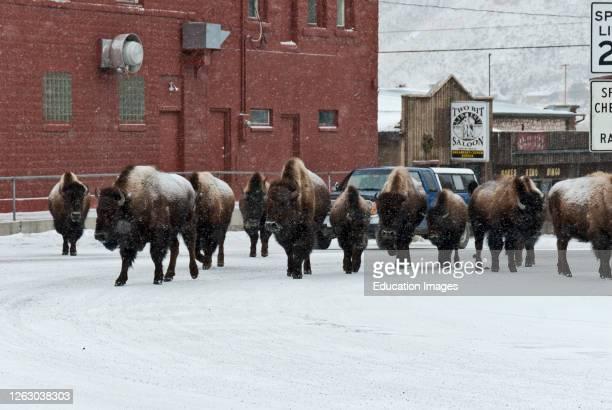 Bison Walking through Gardner Montana in the Winter