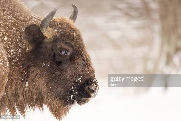 bison winter day in the snow - bialowieza forest photos et images de collection