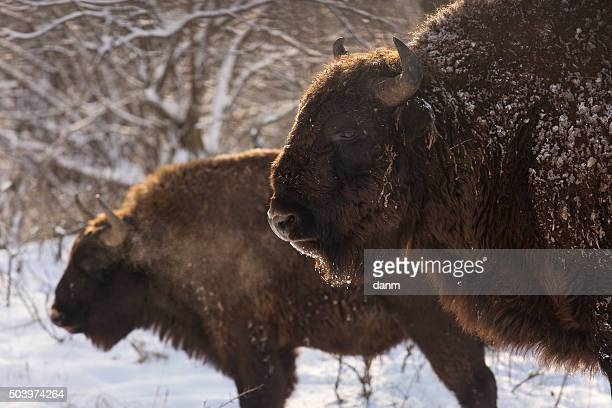 bison winter day in the snow - bialowieza forest imagens e fotografias de stock