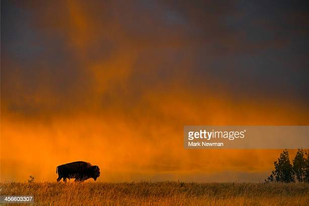 Bison with sunset sky