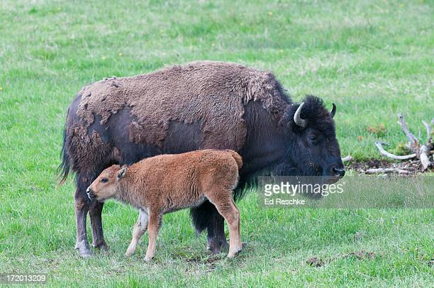 Bison--Female (cow) and Calf in Yellowstone