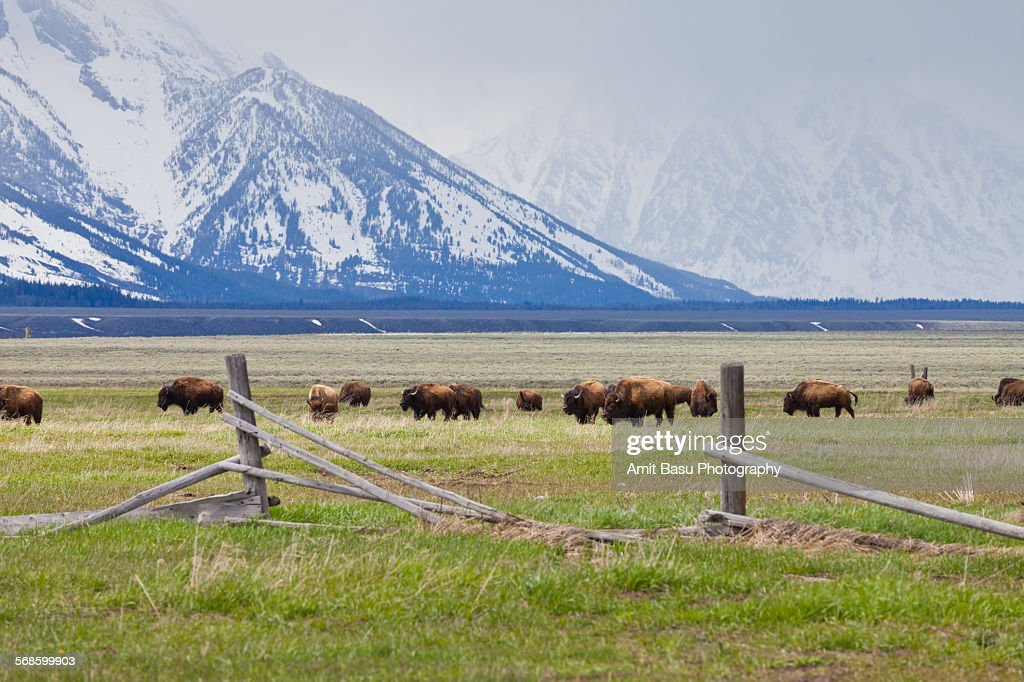 Bisons at Grand Teton National Park : Stock Photo