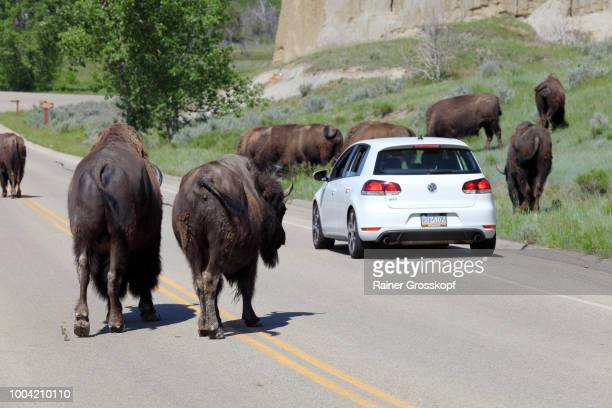 Bisons (Bos bison) surrounding a car in Theodore Roosevelt National Park