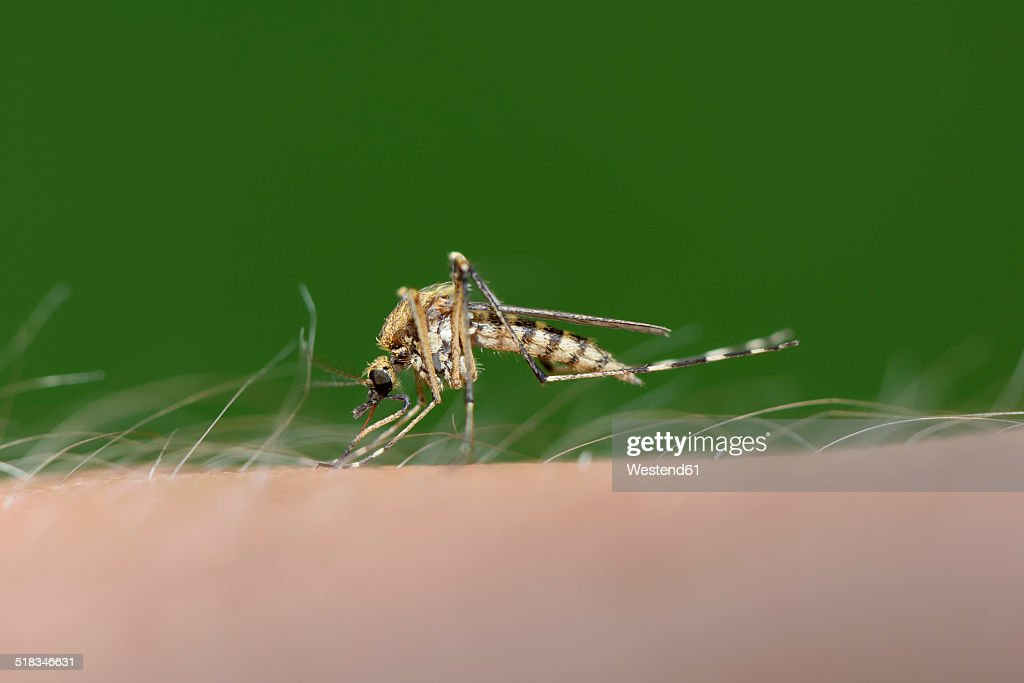 Biting mosquito, Culex pipiens, close-up : Stock Photo