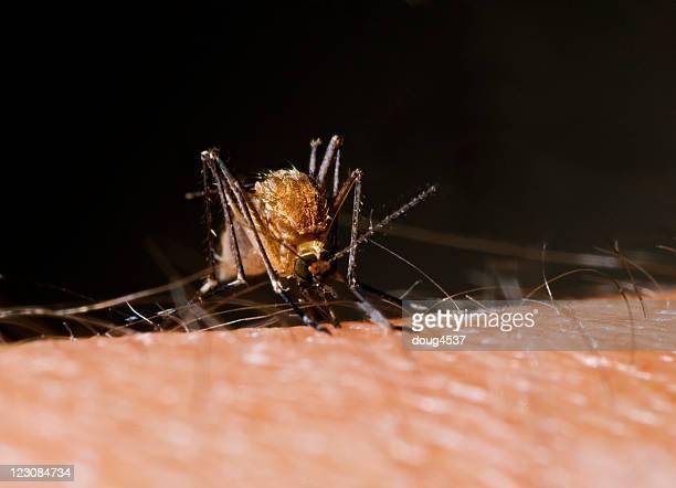 Biting Mosquito #3