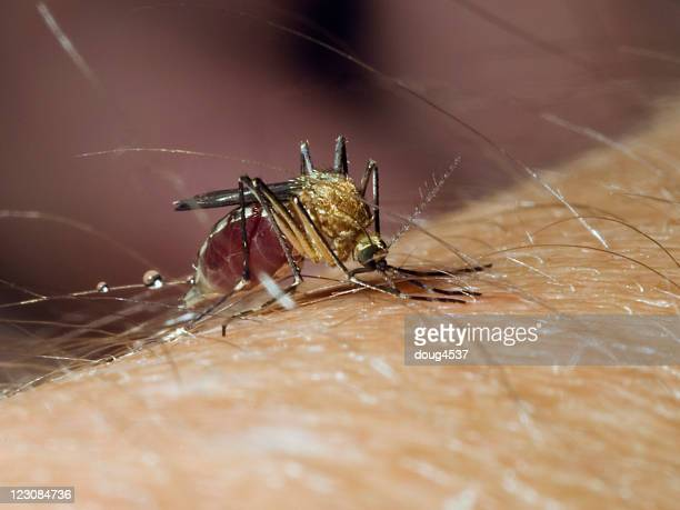 biting mosquito #4 - disease vector stock pictures, royalty-free photos & images