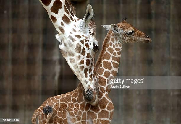 Bititi an eleven yearold giraffe brushes against its newborn calf at the San Francisco Zoo on August 29 2014 in San Francisco California The San...