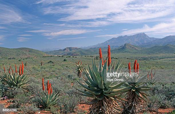 bitter aloes (aloe ferox) in flower in the little karoo. oudtshoorn, western cape province, south africa - the karoo stock photos and pictures