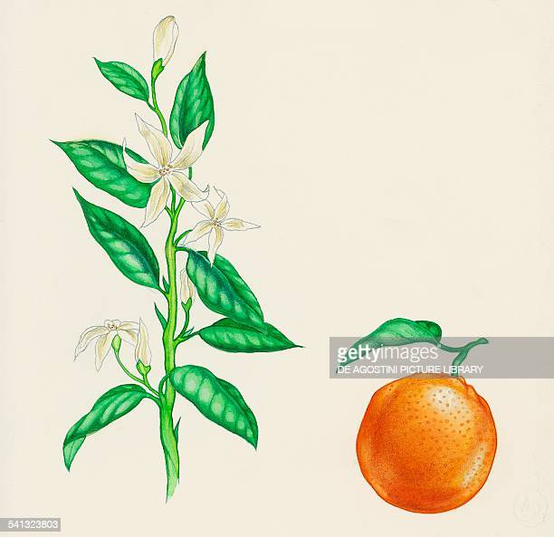 Bitter orange blooming branch and fruit Rutaceae drawing